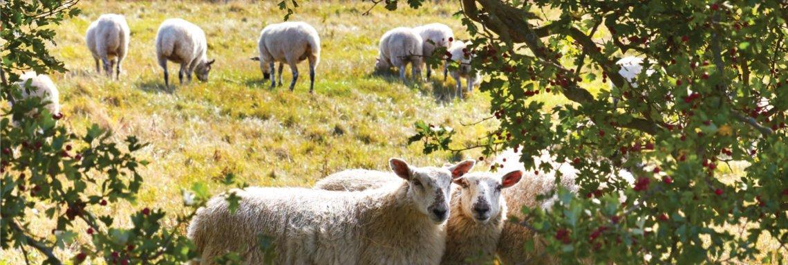 Flaxby sheep